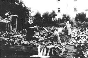 Gute Gurkenernte 1934